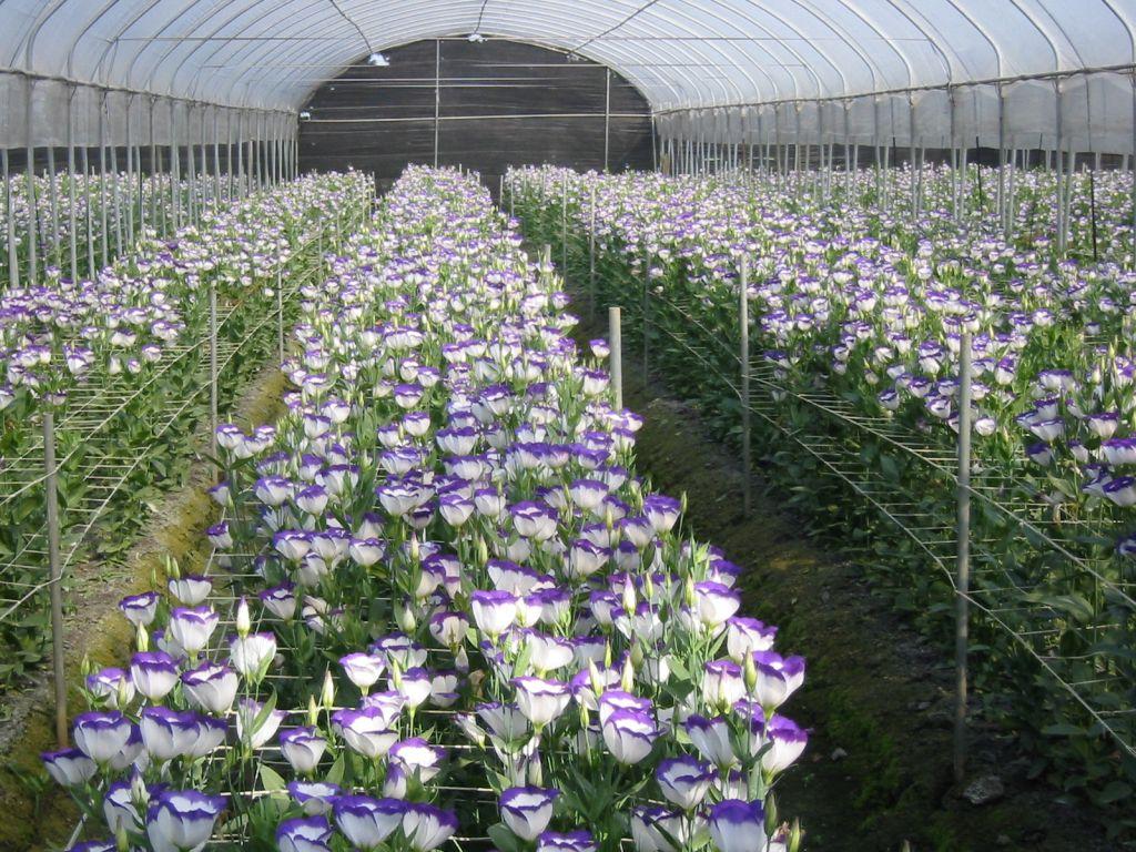 彰化花卉,外銷花卉,花卉產銷