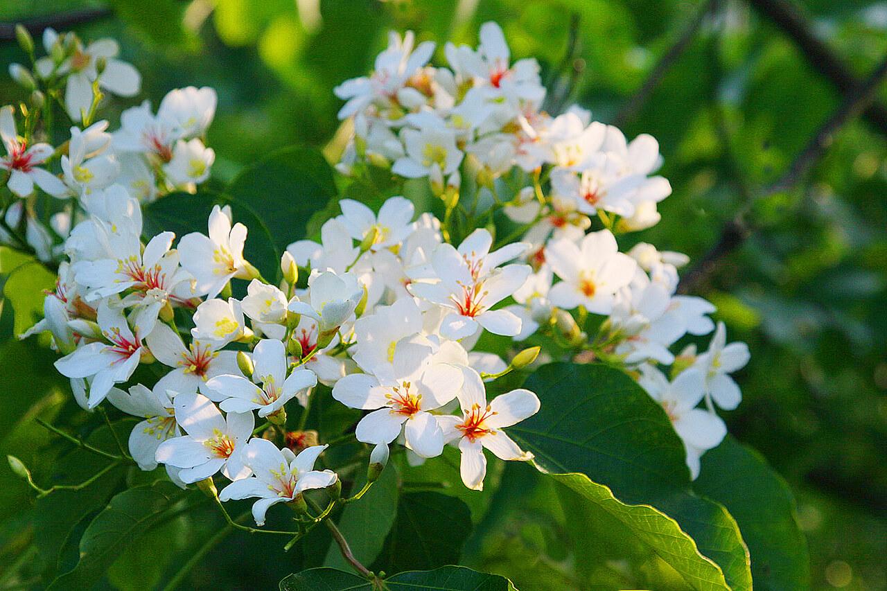 油桐花季,桃園油桐花活動