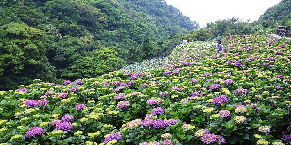 台北繡球花,台北海芋花季